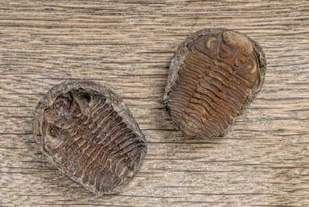 petrified fossil: Trilobite fossil on wooden table Stock Photo