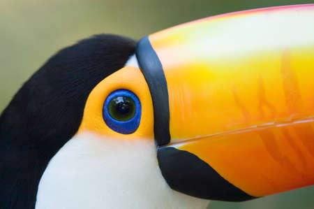 Toco Toucan (Ramphastos toco) close-up