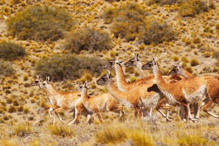 guanicoe: Guanacos in patagonia (Lama guanicoe)