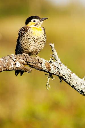flicker: Field Flicker (Colaptes campestris)