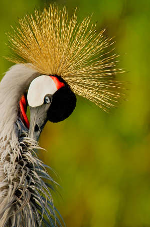 Crowned Crane (Balearica pavonina)   photo