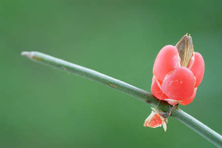 ancient medicinal plant Ephedra (Ephedra sp.)