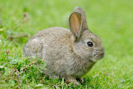 oryctolagus cuniculus: European Rabbit (Oryctolagus cuniculus). The European Rabbit became a plague in Tierra del Fuego after its introduction a few decades ago in Patagonia