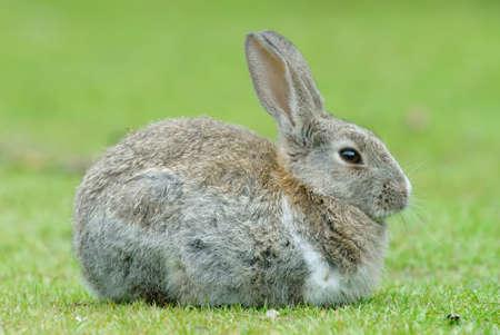 plaga: Conejo Europeo (Oryctolagus cuniculus). El Conejo Europeo se convirti� en una plaga en Tierra del Fuego despu�s de su introducci�n hace unas d�cadas en la Patagonia