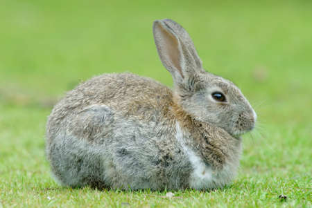 European Rabbit (Oryctolagus cuniculus). The European Rabbit became a plague in Tierra del Fuego after its introduction a few decades ago in Patagonia photo