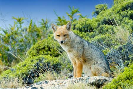 Patagonian Fox (Dusicyon culpaeus)