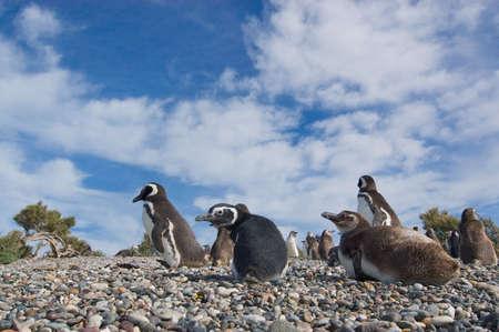 pinguinera: Colonia de Ping�inos de Magallanes (Spheniscus magellanicus) en la Patagonia