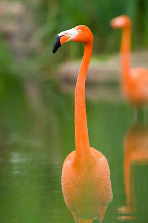 Colorful Flamingo in a pond photo