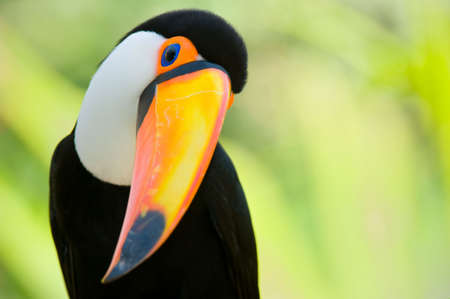 Head close-up of a Toucan Stock Photo