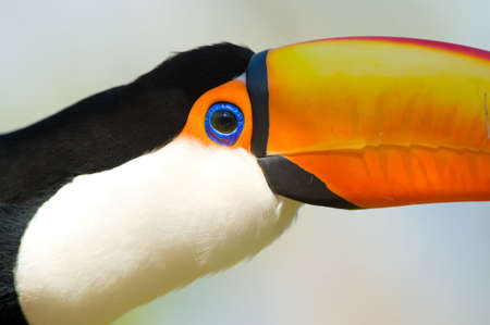 Head close-up of a Toucan Stock Photo - 5904049