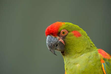 Military Macaw head closeup photo