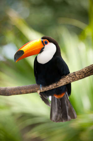 Toco Toucan in deep vegetation photo