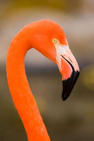 Red Caribbean flamingo close-up head detail Stock Photo - 5904062