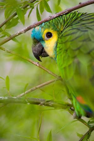 Parrot camouflaged in dense vegetation photo