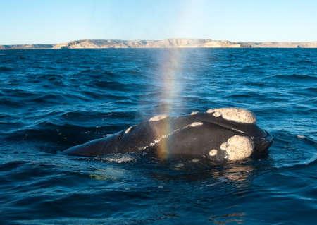Une baleine franche dans la péninsule Valdes, Argentine. Banque d'images