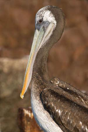 malandros: Detalle de Pelican