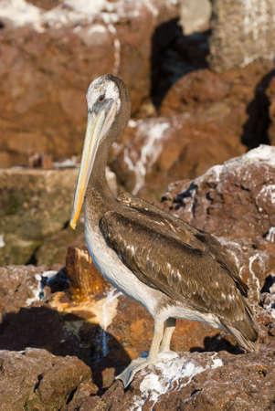 malandros: Pelican permanente en las rocas  Foto de archivo