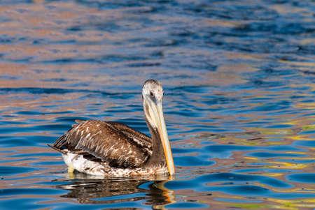 malandros: Pelican nataci�n en agua de reflexi�n coloridos