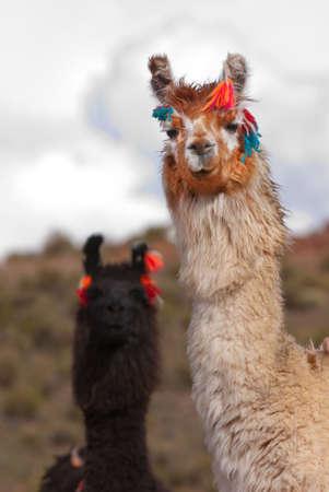 the lama: Llama (Lama glama) a high altitude Camelid from South America  Stock Photo