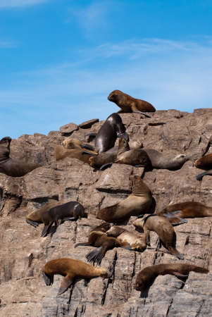 gregarious: South American Fur Seal Colony in Ushuaia, Patagonia Stock Photo