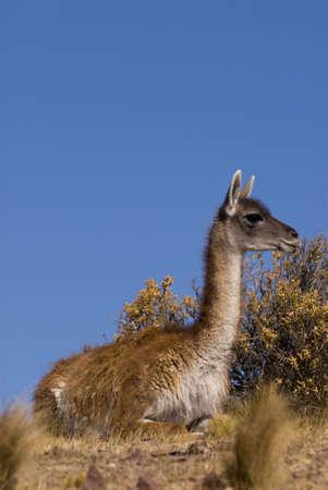 guanicoe: Guanaco (Lama Guanicoe) in Patagonia Stock Photo