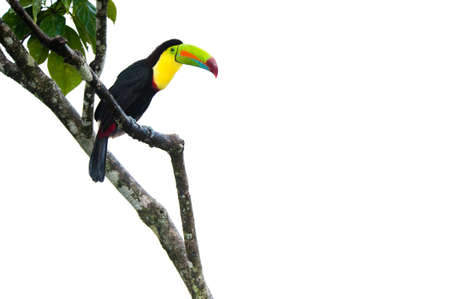 keel: Keel Billed Toucan, from Central America. Stock Photo
