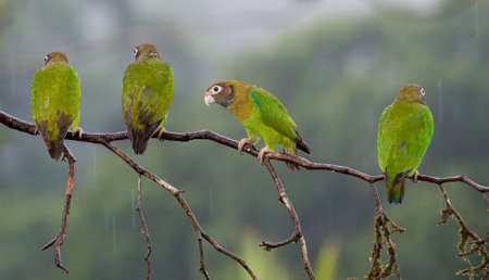four species: Four Brown-hooded Parrots in a branch, one looking to the camera
