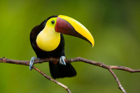 Chestnut-mandibled Toucan or Swainsons Toucan - Ramphastos swainsonii,  from Central America.