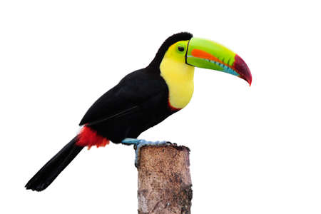 billed: Keel Billed Toucan, from Central America. Isolated on White