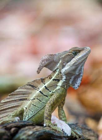 frilled: Basilisk or Jesus Christ Lizard (Basiliscus basiliscus)