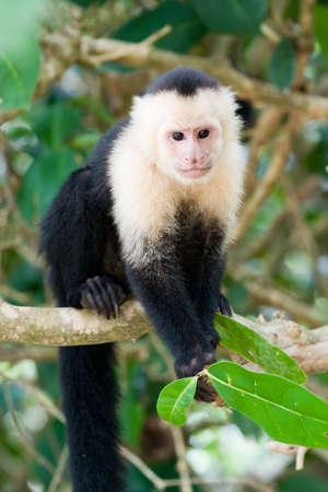 faced: White faced Capuchin Monkey  Stock Photo