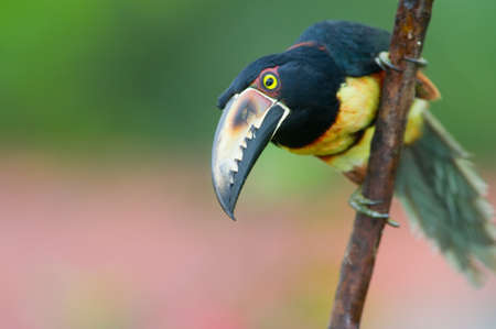 Collared Aracari, a Toucan from Central America. Stock Photo