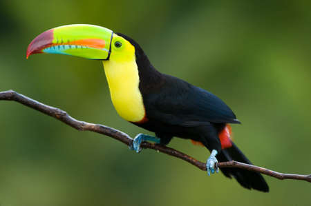 Keel Billed Toucan, from Central America. photo