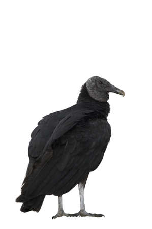 black vulture isolated on white Stock Photo