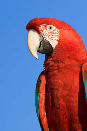 Red Macaw head close-up isolated over blue sky photo