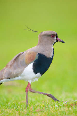 lapwing: Southern Lapwing isolated on green Stock Photo