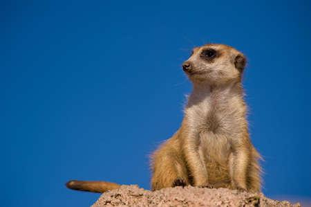 Suricate or meerkat against blue sky photo