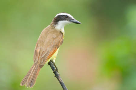 tiran: Grote Kiskedee in Costa Rica
