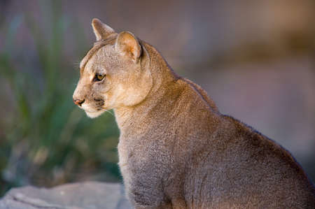 Cougar close-up - Puma concolor Stock Photo
