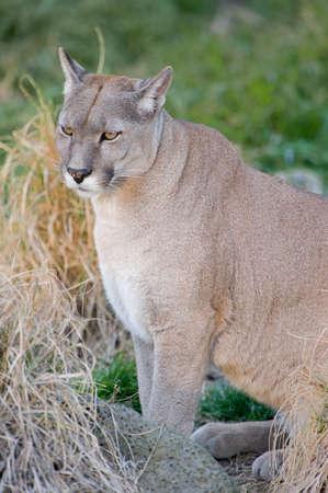 Puma or Cougar in Patagonia  - Puma concolor