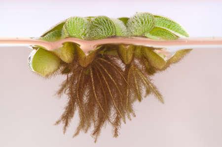 salvinia: Floating Moss (Salvinia rotundifolia)