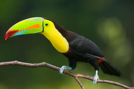 billed: Keel Billed Toucan, from Central America. Stock Photo