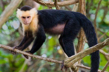 White faced Capuchin Monkey  Stock fotó