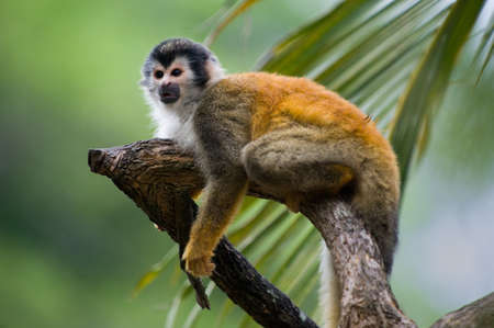 Squirrel monkey in a branch in Costa Rica photo