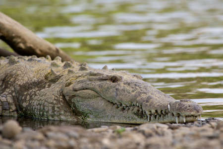 American crocodiles, view from above.