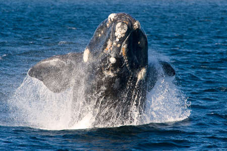animal watching: A Right Whale in Peninsula Valdes, Argentina.