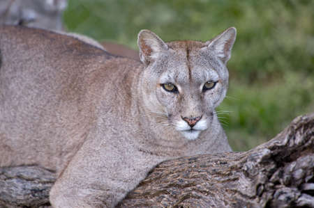 Puma or Cougar in Patagonia  - Puma concolor photo