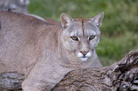 puma: Puma or Cougar in Patagonia  - Puma concolor