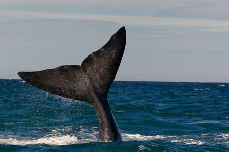 whale: A Right Whale in Peninsula Valdes, Argentina.