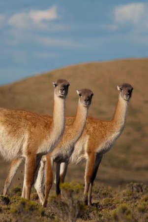 guanicoe: Guanacos (Lama Guanicoe) in Patagonia